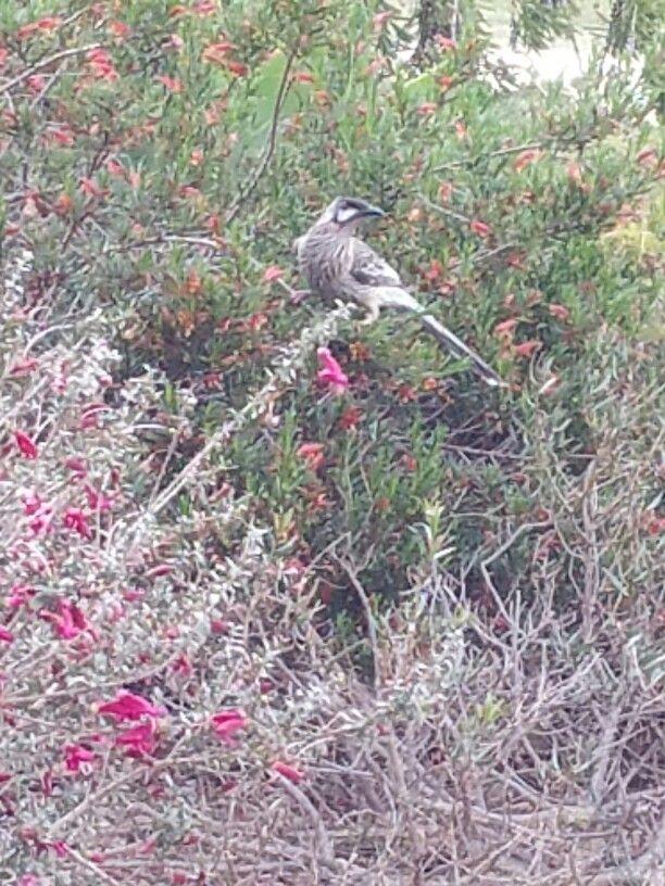 Red wattle bird - nature's bully