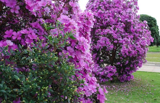 Manacá-da-serra arvore que enaltece qualquer jardim
