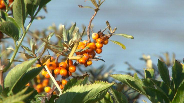 Quels sont les bienfaits de l'argousier, récolté en baie de Somme pour en faire des sirops et autres pâtes de fruits.