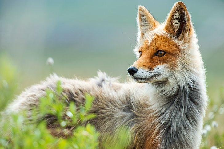 Just a fox.