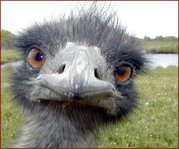 Faune d'Australie - Oiseau Emeu - Dromaius novaehollandiae