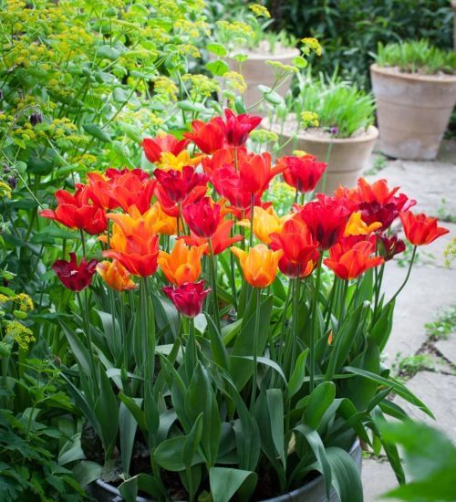 The lily-flowered tulip varieties are slim and elegant and very perennial in the garden. With these four, you get wonderful scent too, marvellous for a…