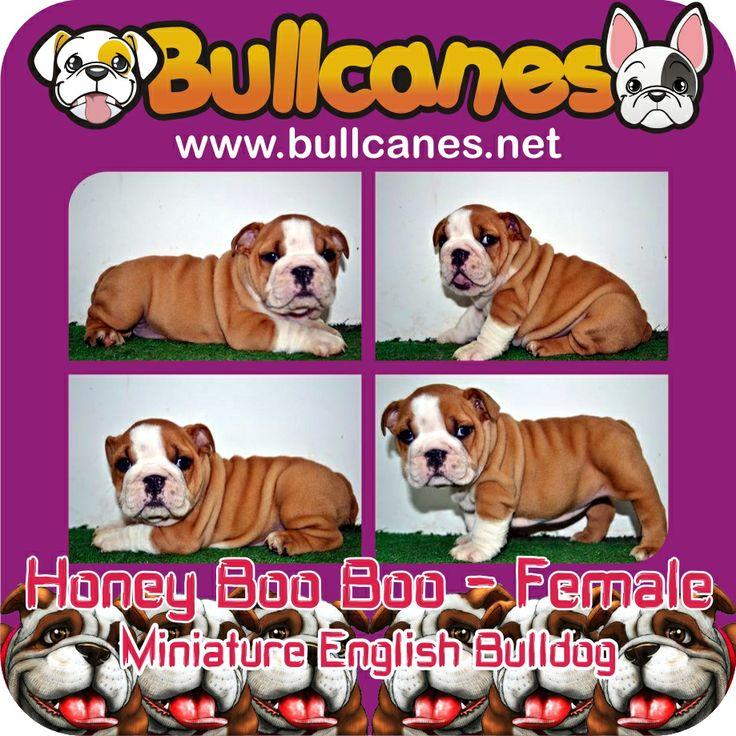 HONEY BOO BOO - Female Miniature Bulldog Puppy For Sale http://www.bullcanes.net / ceo@bullcanes.net / Facebook: bullcanes1@hotmail.com / instagram: @BULLCANES Bulldog puppies for Sale / Twiter: bullcanes1 / YouTube: Bullcanes Bulldog Kennel