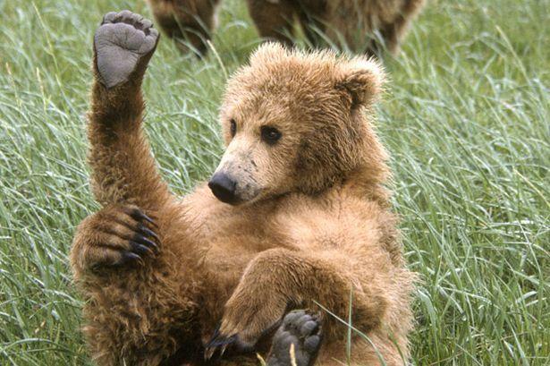 bear - Hledat Googlem