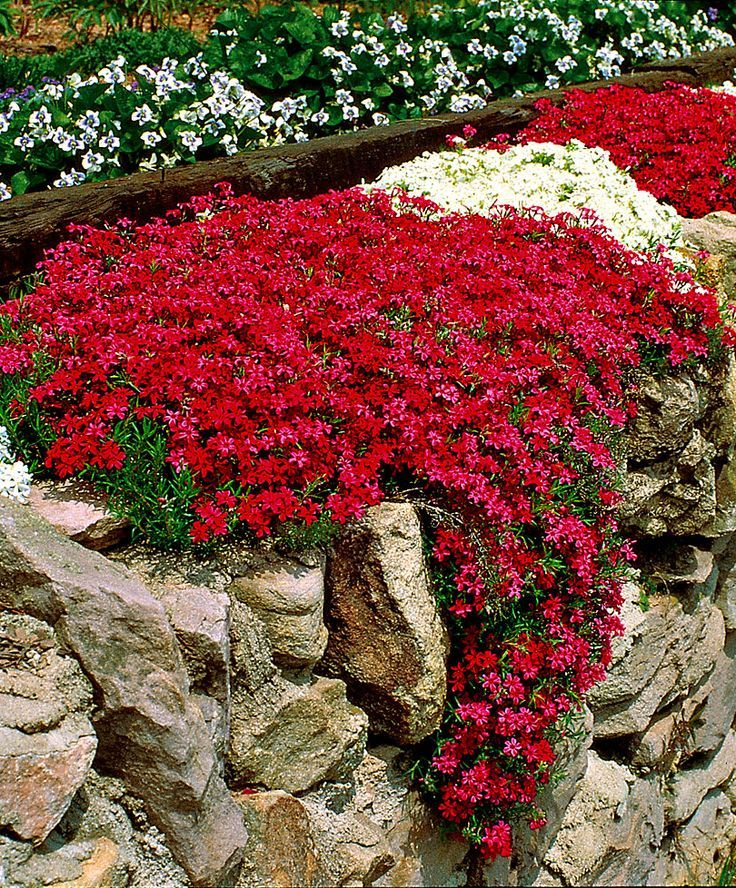Moss Phlox | Plants from Spalding Bulb spaldingbulb.co.uk