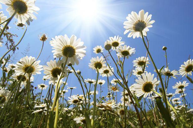 White Daisies -             Fototapeter & Tapeter -           Photowall