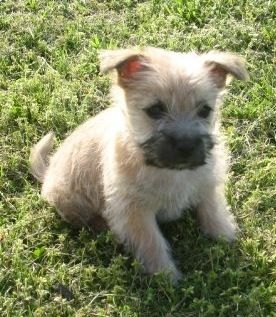 Cairn terrier puppies could be one of the cutest puppies there are (if that's even possible to declare-- all puppies are beyond cute)!!!  <3