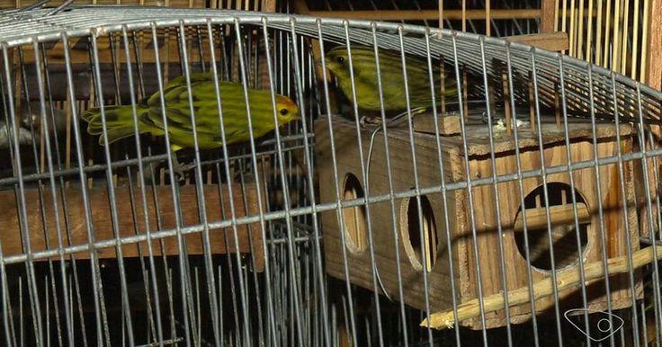 Vinte e um pássaros silvestres são encontrados em cativeiro em Vitória - https://anoticiadodia.com/vinte-e-um-passaros-silvestres-sao-encontrados-em-cativeiro-em-vitoria/