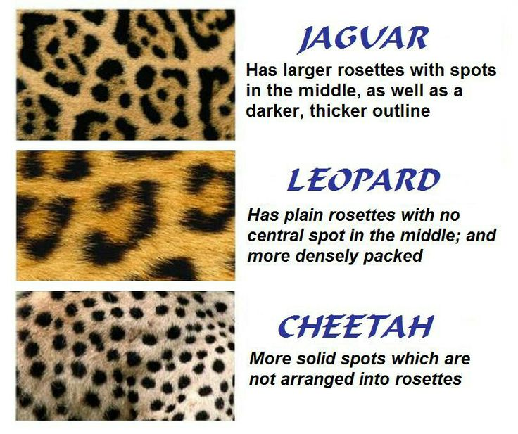 For ppl who always say that leopard is cheetah print. Here is the difference