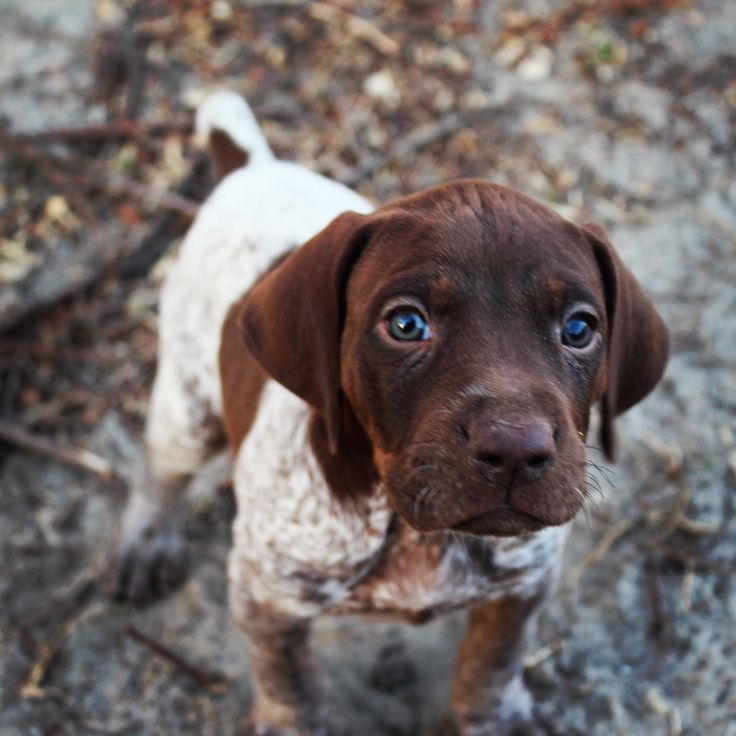 looks like my german shorthair pointer 'Penny' i had when i was i kid