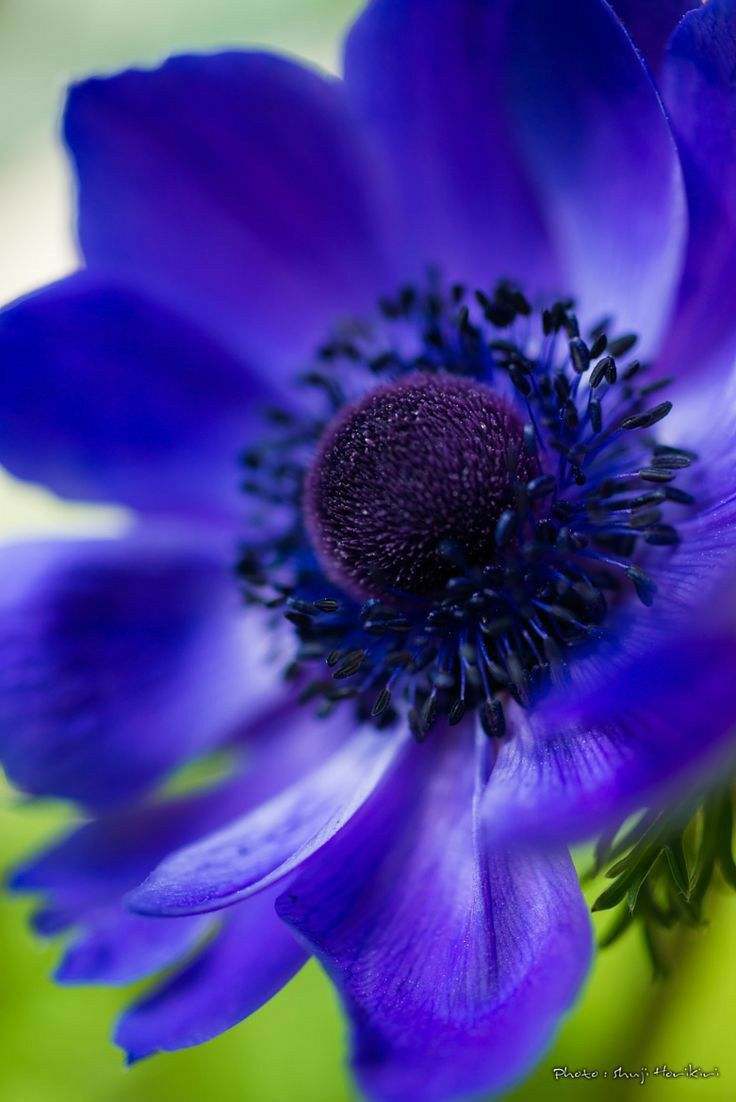 Pin By Mona Moni On Anemone In 2020 Beautiful Flowers Purple Flowers Beautiful Blooms