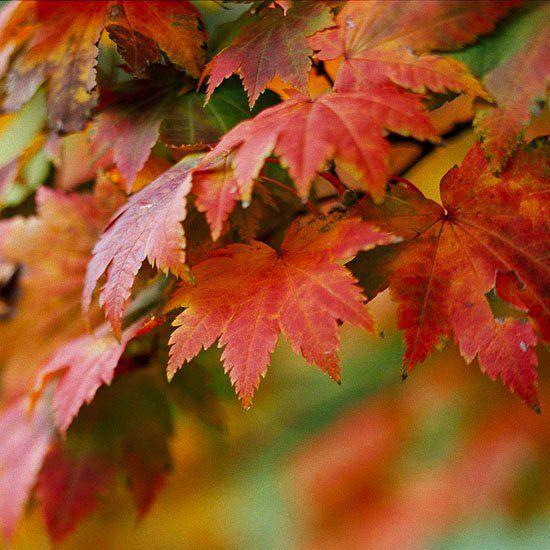espèce d'érable du Japon Vitifolium à feuillage rouge orangé