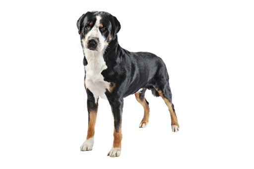 Greater Swiss Mountain Dog - Purina® short haired dogs