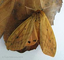 banded woolly bear moth - Wikipedia, the free encyclopedia