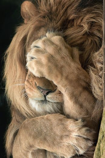 Hard being a lion with a chronic illness.