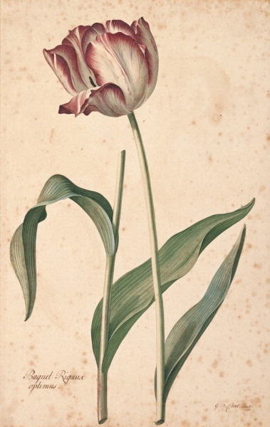 Tulip 'Baquet Rigaux optimus', by Georg Dionysius Ehret (1708-1770)