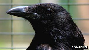 I have a crow here who has chatted with me for several years.  Wonderful fellow.  They are busy with nesting right now.  Crows recognise familiar human voices and the calls of familiar birds from other species, say researchers.