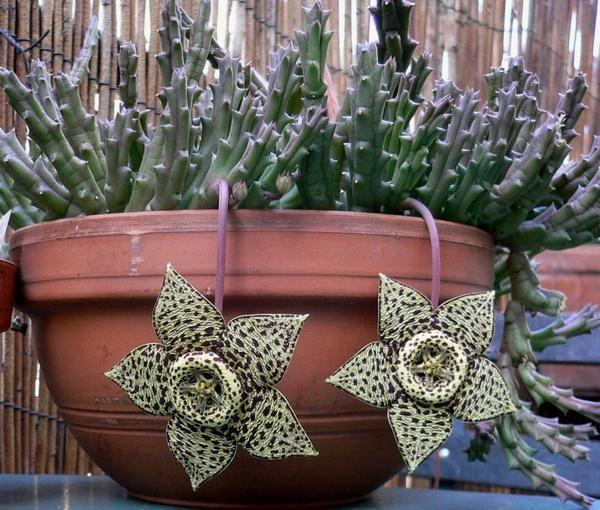 Orbea variegata  aka Toad Cactus, Starfish Cactus, Carrion Flower