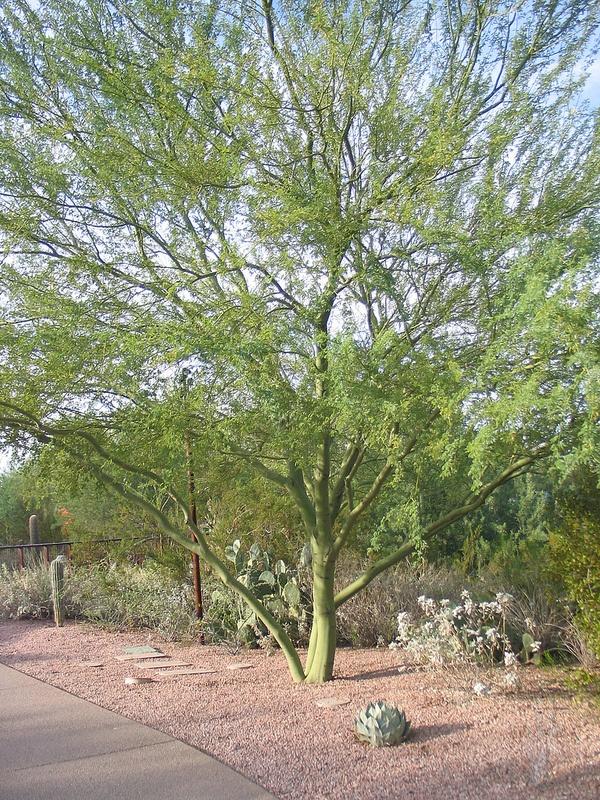 Desert Botanical Garden 87   Palo verde tree