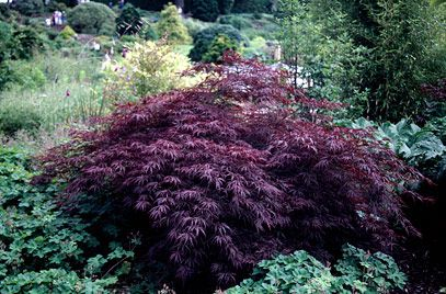 Acer palmatum var. dissectum 'Garnet' - sapindaceae - medium deciduous shrub - leaves palmately compound - 7 leaflets - deeply dissected - purple red - best in partial shade