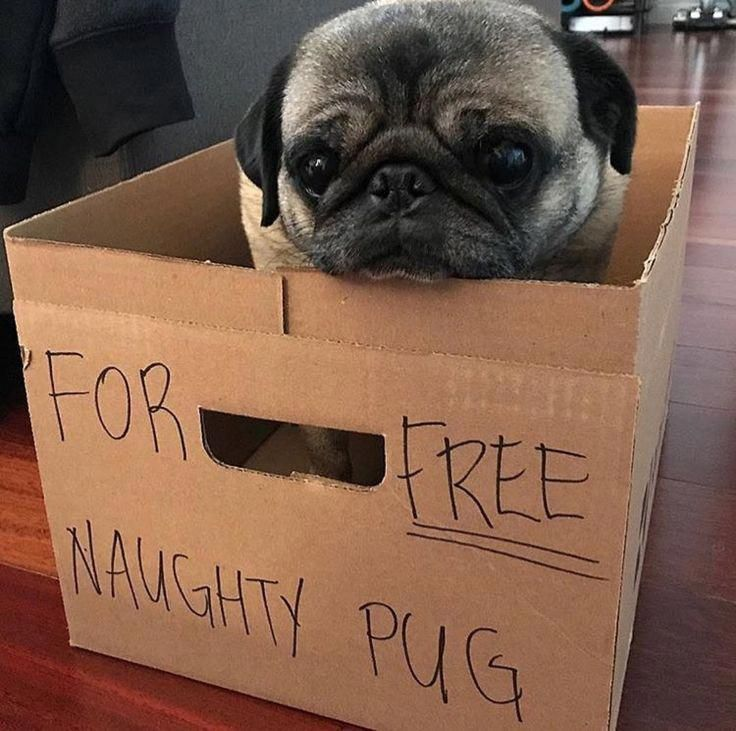 It S Hard To Believe That Any Pug Could Possibly Be Naughty Cute Pugs Pugs Funny Pugs