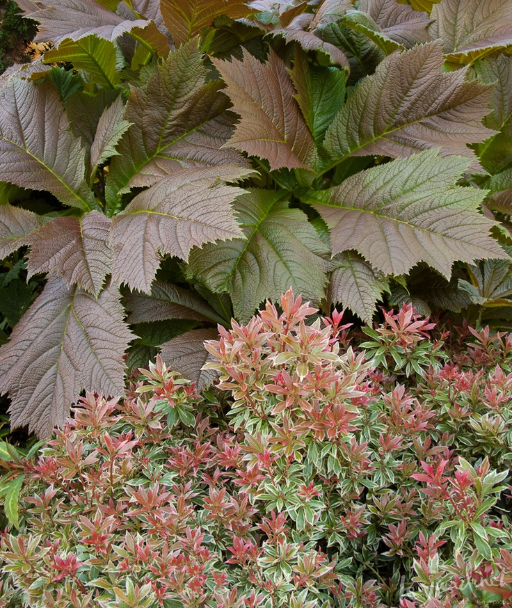 Plant Combination Little Heath Andromeda Lily Of The