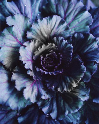 Bloom magazine - inspiration can come from everywhere. Amazing palette from this cabbage.
