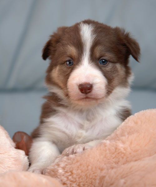 Border Collie Brown/White, future puppy :)   I want him now.