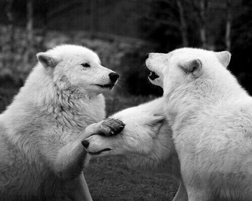 Imagen de wolf, black and white, and animal