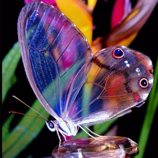 Beautiful colours in the butterfly. Loving how the transparent nature of the wings creates multiple layers to this photo.