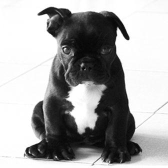 Cachorro Bulldog Francés