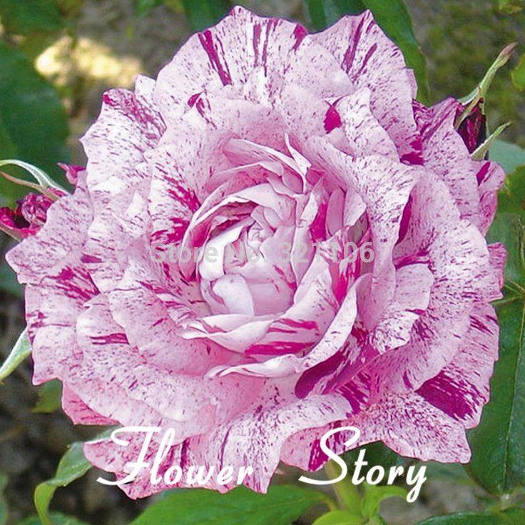 Rare Beautiful Purple Flowers | Versandkostenfrei 20 lila drachen rosensamen, selten schöne streifen ...
