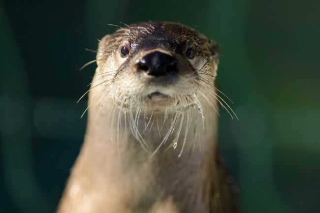 Otter looks right into the camera - March 1, 2014