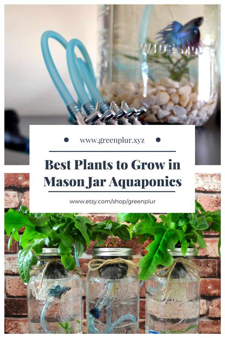 Best plants to grow in mason jar aquaponics kits. Lettuce. Basil. Cilantro. Wheat grass.   Purchase your own indoor herb garden / salad garden with hydroponics and betta fish. Very cute betta aquarium. www.greenplur.xyz www.etsy.com/shop/greenplur