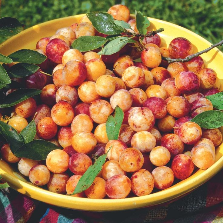 Plum 'Mirabelle de Nancy' - heavy crops of classic, yellow, small French plums from September. Sweet, stone-free fruits.  Well-drained soil, sheltered, sunny position. Height / spread: 8 ft.