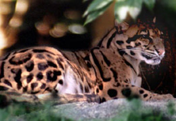 A Formosan cloud leopard, now extinct in Taiwan.  This is so sad.