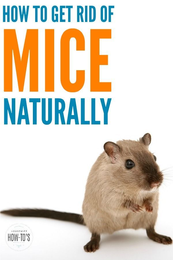 How To Get Rid Of Mice Naturally No Cat Required Getting Rid