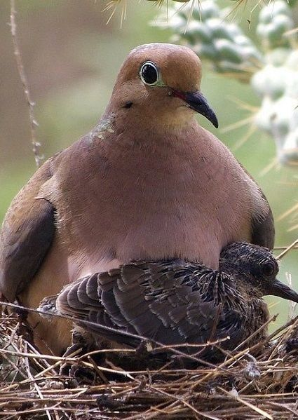 Mourning Dove With Her Chick.