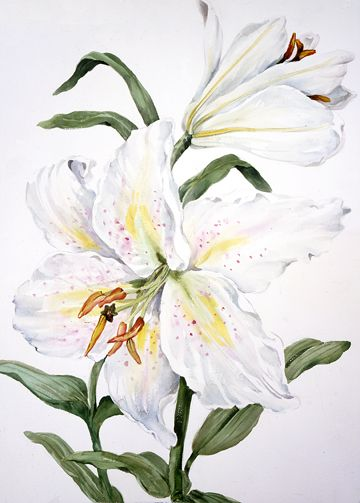 Joy Waldman   WATERCOLOR        White Lily I