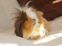 guinea pigs in wigs - Google Search