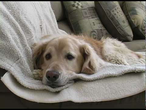 Golden Video of the Week - 18 Aug 13 - Young Golden Retriever Tries to Get Old Dog to Play Short Film