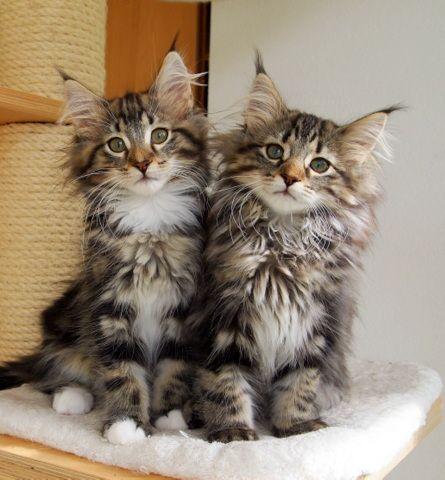 Youngster/Norwegische Waldkatzen von Moenus