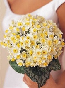 Bouquet of miniature daffodills