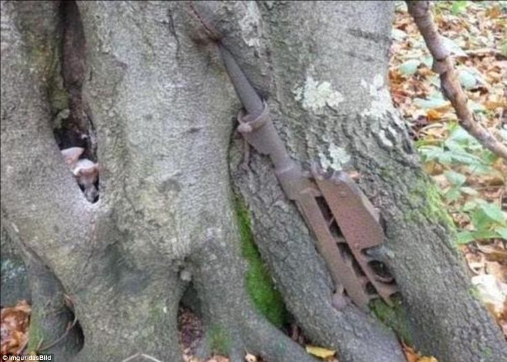 Echo of war: Described by a web user as a Mannlicher Carcano rifle circa 1891, this rusted out weapon has embedded itself in the trunk of a tree growing in a Russian forest