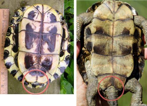 Comparativa de plastrones para poder identificar si una tortuga es de Florida (Trachemys scripta elegans) o un galápago leproso (Mauremys leprosa). Para más info, sígueme en el blog! Fotografías cedidas por la fotógrafa Ares Seuma.