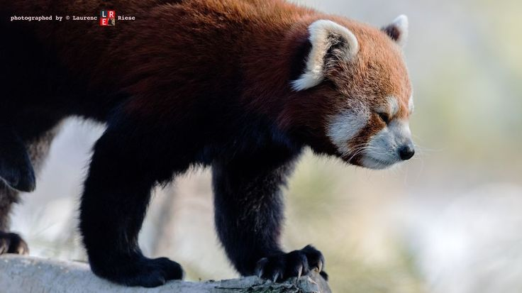 Red Panda Photo by laurenc riese — National Geographic Your Shot