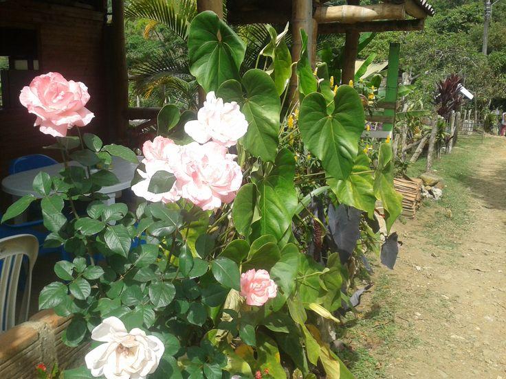 Rosas Silvestres - Pico de Águila- Cali