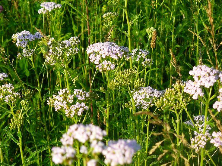 Удивительная Башкирия: Лекарственные растения Башкирии против хандры