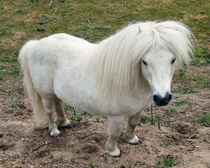 Valkoinen poni