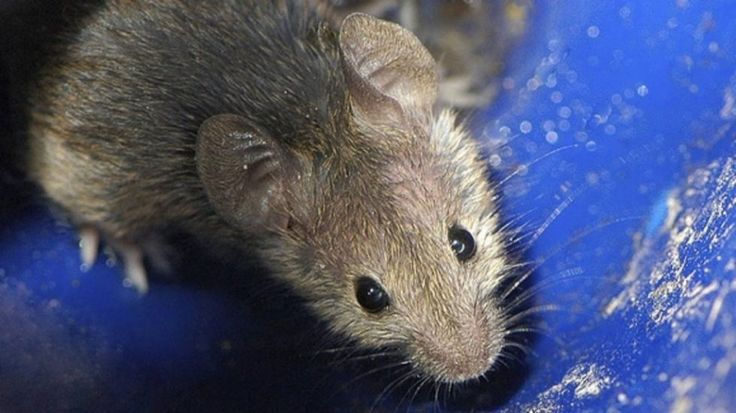 About Japanese mice and Dolly Partons mammary glands. - A cloning record was broken when 581 clones of a mouse were made